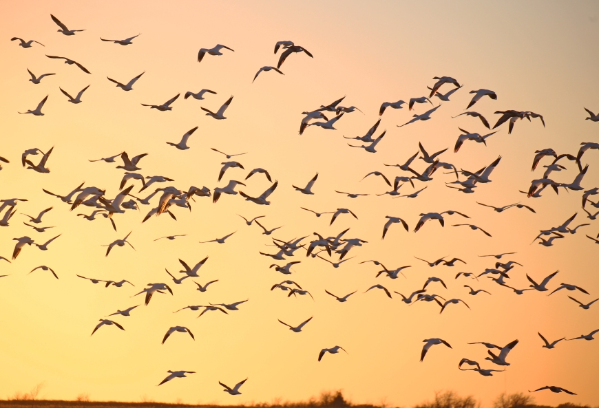 Snow geese and other birds in flight.